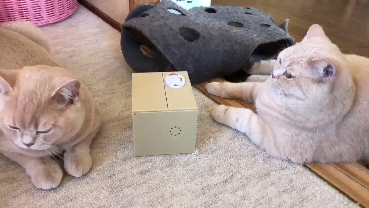 自動猫貯金箱で遊ぶ猫達