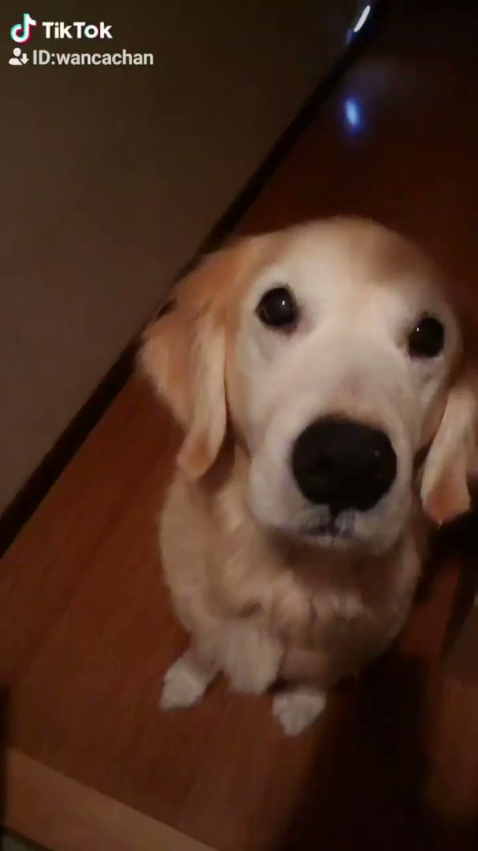 こんばんわん🐾遅くなってしまいました💦少し前の動画ですが、私のお気に入りです(*¨*)♡⬇TikTokにて作ってみました✨#ゴールデンレトリバー #愛犬