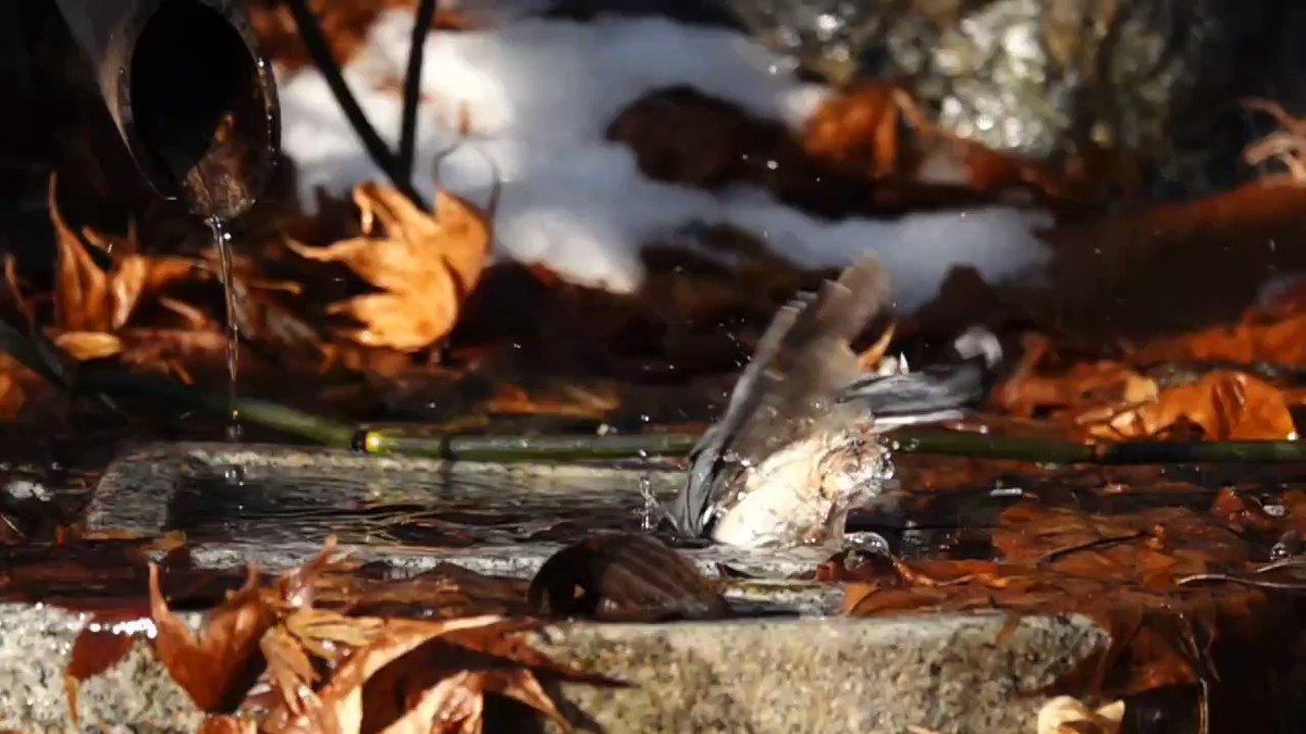 ゴジュウカラの水浴びスロー映像。#ゴジュウカラ #野鳥 #水浴び #bird #aves #スローモーション #ハイフレームレイート #slowmotion #HFR