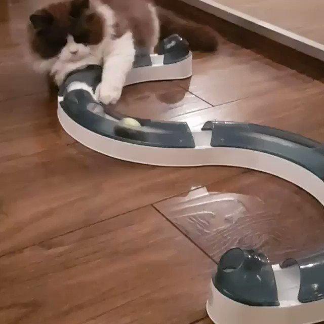 なかなか楽しそうなおもちゃだ😀📸  timo_the_ragdoll_cat (TikTok)