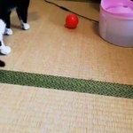 猫がボール遊びをした結果?華麗に空振り!