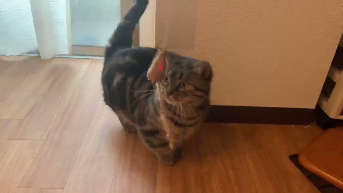 お弁当箱に高速で詰め過ぎた短足猫#マンチカン #短足マンチカン #猫のいる生活 #猫好きさんと繋がりたい #猫YouTuber #tiktok #お弁当箱の歌