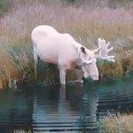 【伝説の生き物!?】水に入る真っ白なヘラジカがもののけ姫の出てきそうで話題沸騰中