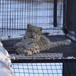 旭山動物園にいるユキヒョウの親子の様子が可愛すぎる!!