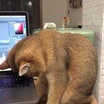 パソコン作業終わるまで待っていたのか、こっくりと寝落ちしてしまった猫!