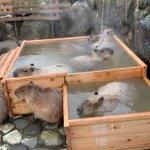 【那須動物王国】カピバラさんの檜風呂があったかそうで話題に