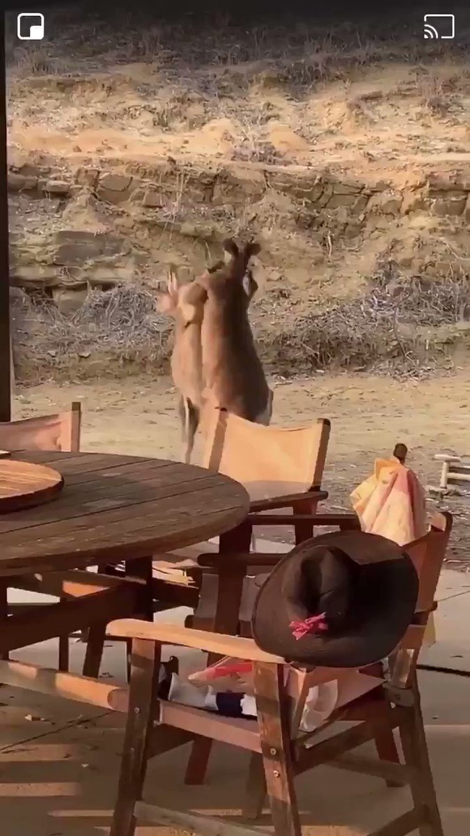 Never thought I would see two kangaroos going at it but here we are Lmao