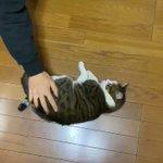 この子にとっては楽しい遊び?!床の上でくるくる回されてご満悦な猫の癒し動画!