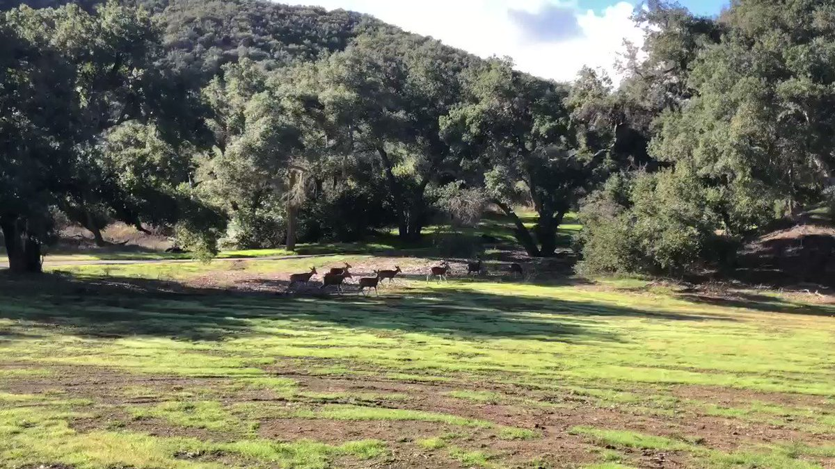 Replying to @thesocalmama: My kiddos and I spotted a herd of deer at Malibu Creek State park. And it was magical! 🦌😍