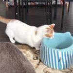 なるほど!短足猫が考えた意外なベッドへの入り方が面白い!