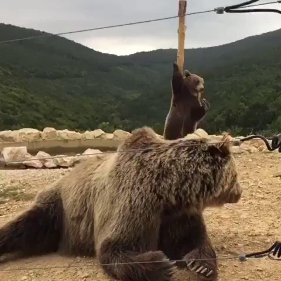 お尻かいかいをしてるクマさんの腰の動きが、セクシーポールダンサーのソレと完全に一致してしまう。