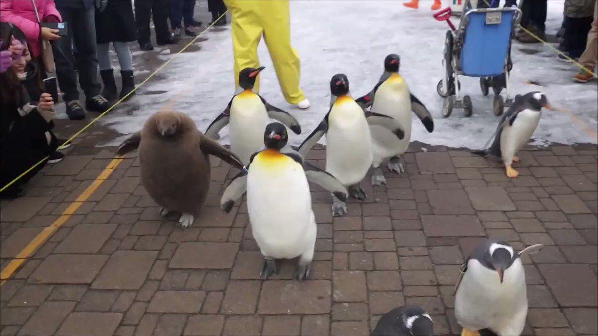 ペンギンも氷の上では滑ります・・・皆さまも怪我にはお気を付けください。#登別マリンパークニクス #ペンギンパレード