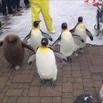 【ぺちぺちされたい】登別マリンパークのペンギンパレードが可愛すぎる
