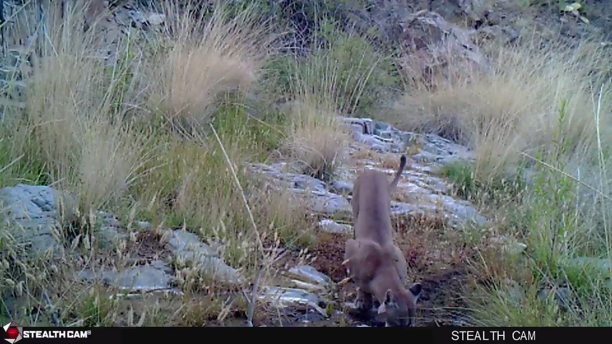 Just 45 seconds of a mountain lion drinking from a seep in the #borderlands.