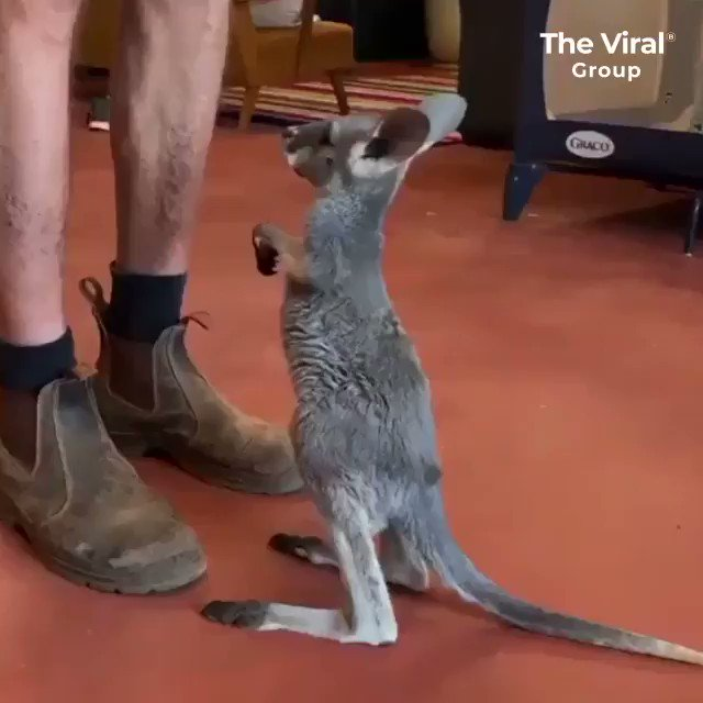 Baby kangaroos are the actually cutest thing I've EVER seen 😍😍