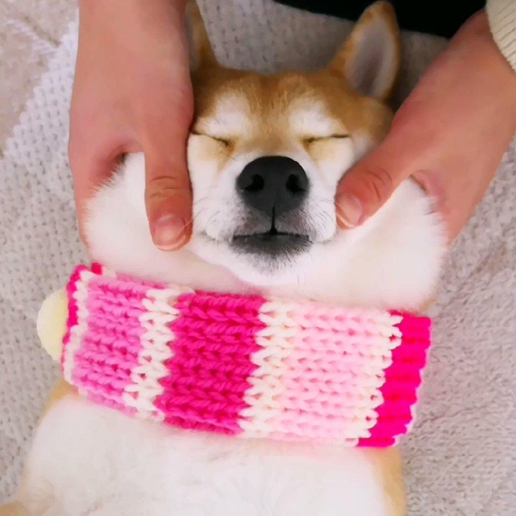 お姉ちゃんのマッサージが気持ちよくて寝ちゃったチャーミー😊#柴犬  #shiba