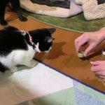 【えさはここだにゃ】ペットボトルの蓋に隠されたエサを見つける猫がかわゆい