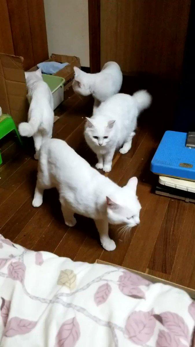 Image for the Tweet beginning: しーちゃんママがご機嫌斜めなのをいち早く察知しスローモーションで離れようとしたるーちゃんだったが駄目だった😹 #猫好きさんと繋がりたい  #白猫 #親子 #八つ当たり