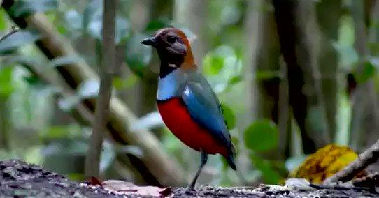 Papuan Pitta (Erythropitta macklotii)🐦🦜🕊️🎵❤️