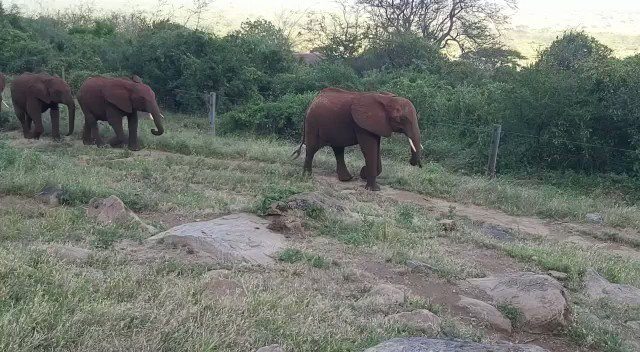 After a long, fun day exploring the protected Park, Mudanda leads the herd home for the day. Walking at a sedate pace, it would seem everyone is pooped after their daily adventure. Find out what a day-in-the life of the orphans looks like at: https://www.sheldrickwildlifetrust.org/projects/orphans/raise-an-orphan-elephant…