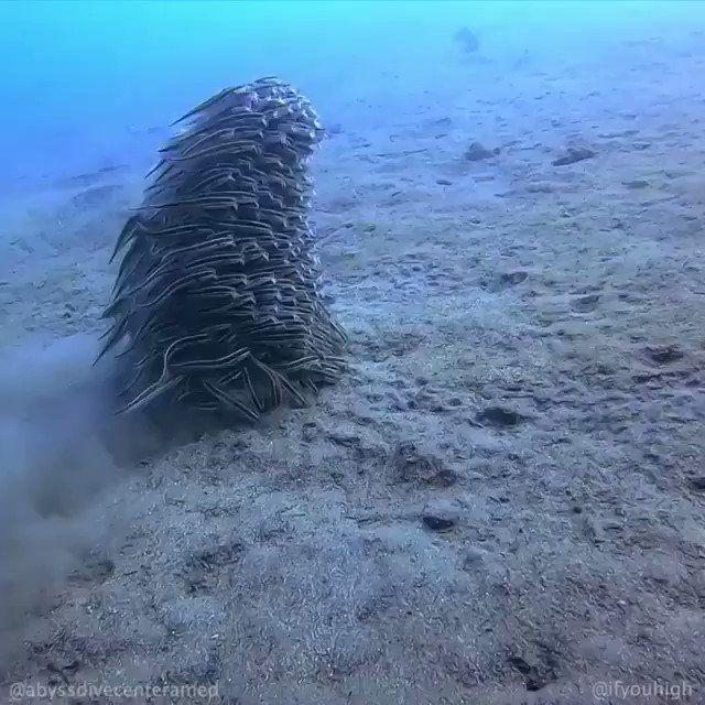 """Juvenile striped eel catfish fall into tight formation for protection from predators. Seems like they need a better name than a """"school""""--a catenation, maybe? (Via Abyss Dive Center, Bali.) https://www.instagram.com/p/B7bAR0Eh7dp/"""
