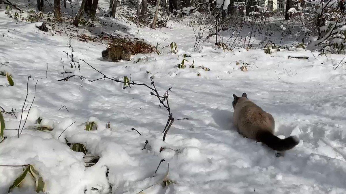 ただ猫が雪に埋まって(๑φﻌφ)るんるん♬しているだけの動画。