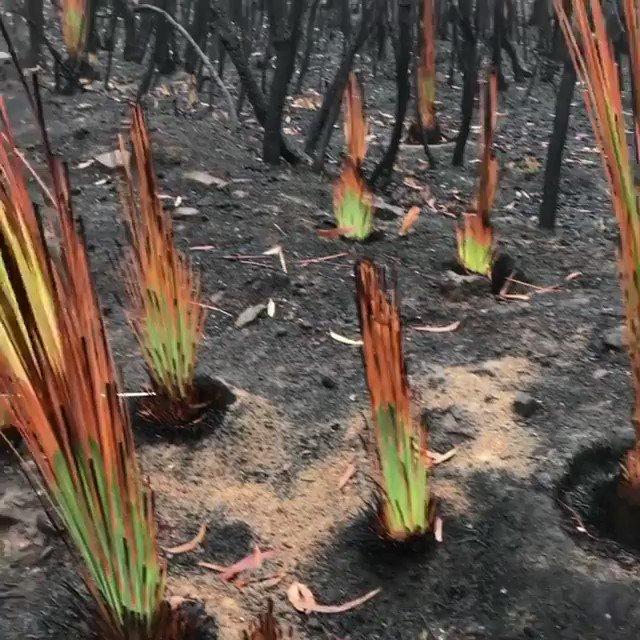 オーストラリアの火災で燃えた土地で、新芽が出始めた。