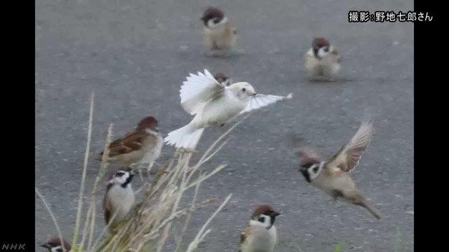 全国的にも珍しい体が真っ白なスズメが神奈川県藤沢市で見つかり、観察に訪れる愛鳥家たちを楽しませています。#nhk_news