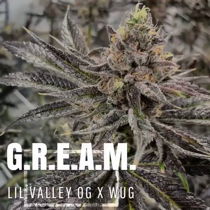Image for the Tweet beginning: NEW STRAIN! -G.R.E.A.M.- Lil Valley OG x
