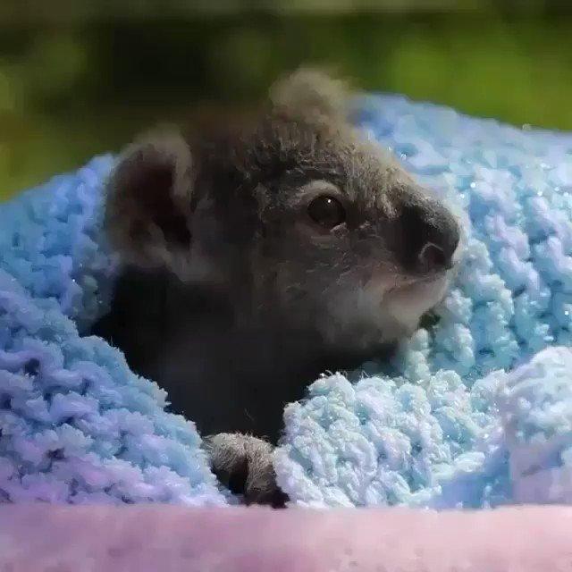 コアラの赤ちゃんがこんなに可愛いことを知らなかった…