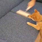 【どこいくの!?】ソファを掃除するコロコロが気になって追いかける子犬が可愛すぎて話題に
