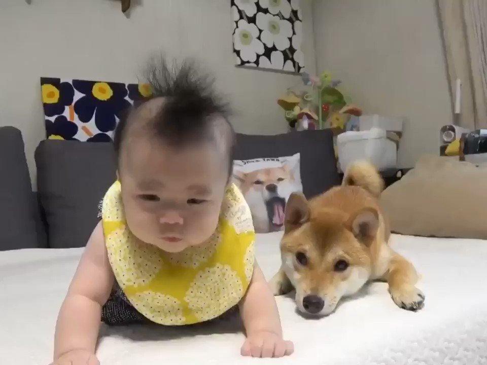 柴犬兄さんでさえ気づいてしまった娘(生後5ヶ月時)のモヒカンヘアー #育児衝撃画像#育児衝撃動画