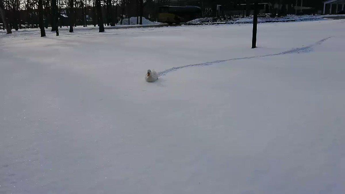 すいすいす~い♪#ピヨちゃん #雪泳ぎ #ほのぼのホースパーク #コールダック