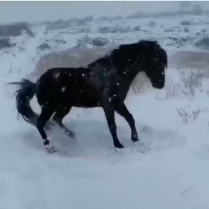 A horse playing in the snow for the first time. (https://imgur/gallery/Tgdann1)