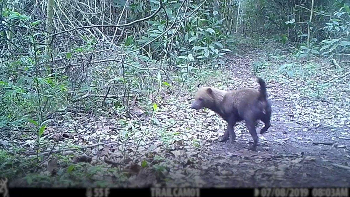 Rare Amazon bush dogs caught on camera in Bolivia [VIDEO]: news.mongabay.com/2020/01/rare-a…