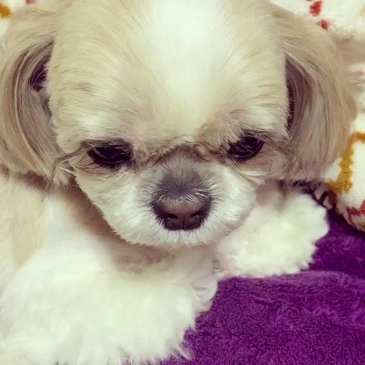 トリミングに行ってスッキリなさった アンリ姫様でございます 炭酸温泉浴をなさったためか超眠そうな表情でございます #犬 #犬好き #犬好きな人と繋がりたい #ワンコ #ワンコ大好き #犬バカ部 #ふわもこ部 #鼻ぺちゃ犬 #シーズー #シーズー大好き部 pic.twitter.com/mLCNIDObXU