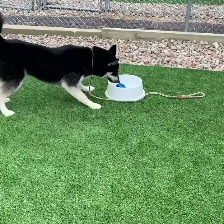Poor Basil...Mother Nature has turned his favorite toy into a learning experience. Watching his problem solving skills that all end happily!  #husky #huskyheaven #dogrescuepic.twitter.com/NAjcNK3nOn