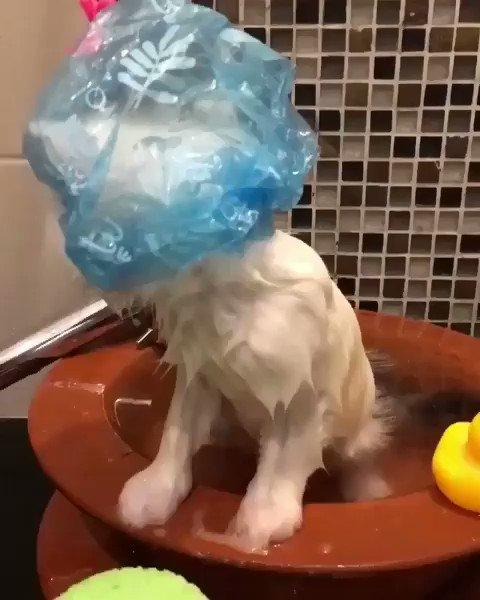 Bath time! For more videos: https://bit.ly/2tG9IAD  #cat #cats #Kitten #kittens #catsofinstagram #catstagram #CuteKitten #Caturday #cute #SaturdayMorning #bath #fun #funny #humor