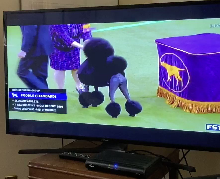 Replying to @mhbertino: THE CATEGORY IS GOTH BITCH FIERCENESS #WKCDogShow