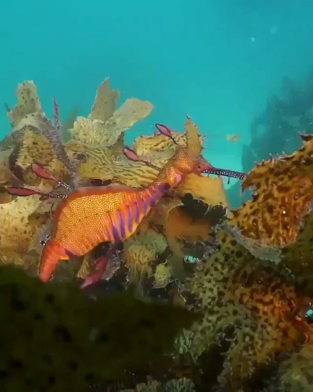RT @Oceandiversity2: Sea dragons🐳🐬 https://t.co/VmyCENWFcF