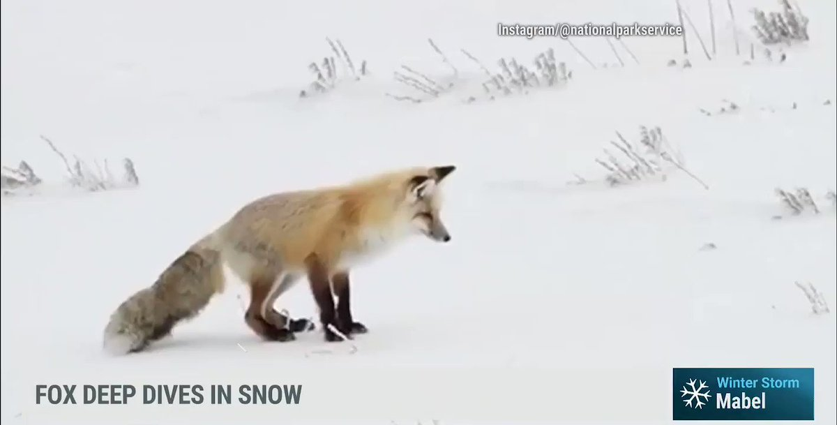 Replying to @weatherchannel: Here's a video of an adorable fox diving into snow... enough said. 🦊