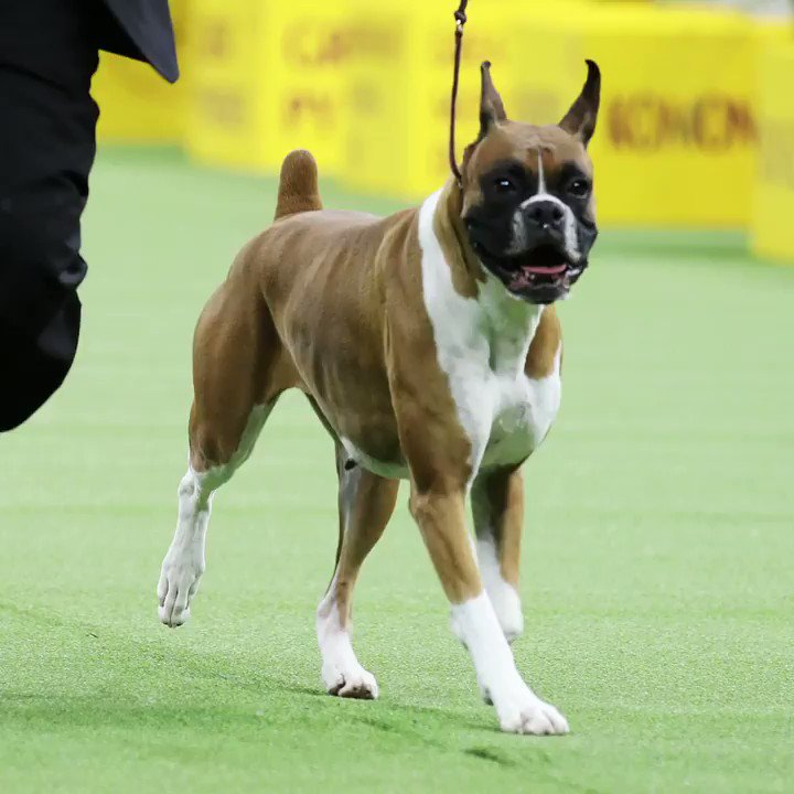 The winner of the Working group is Wilma the Boxer! #WKCDogShow