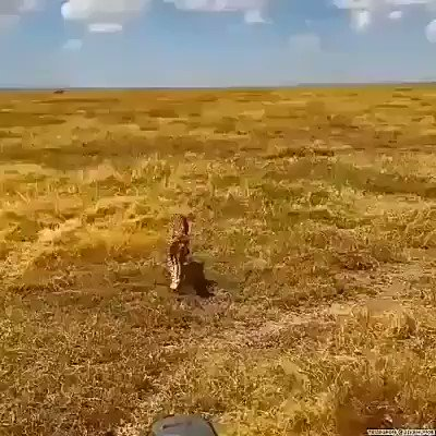 野生のチーターを観察してたら、突然!