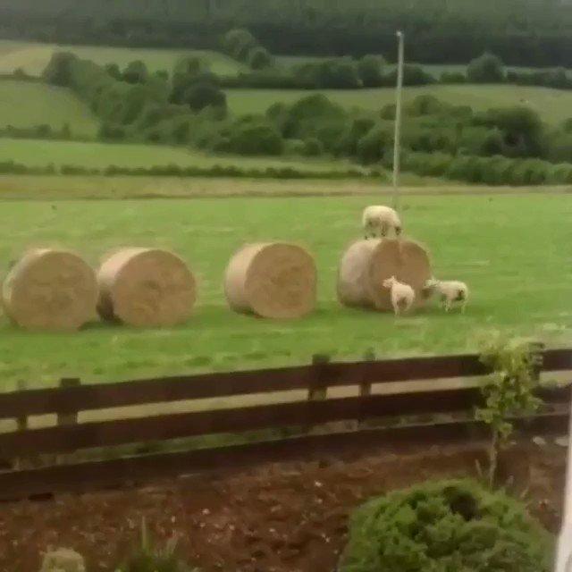 誰もいない時、羊がやってること