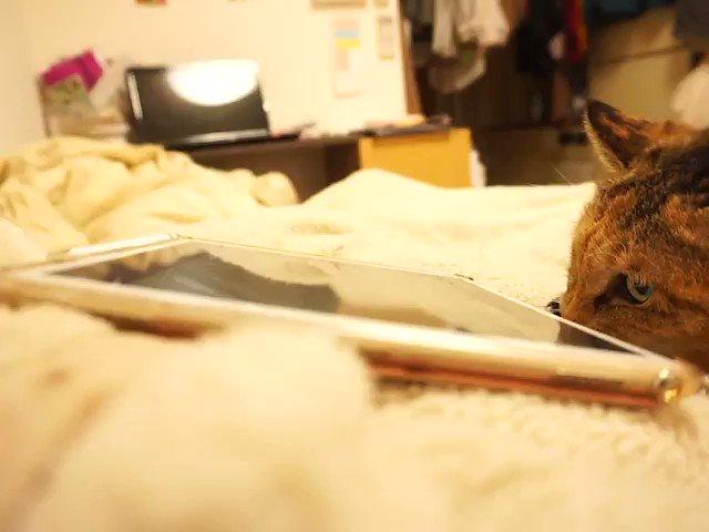 動画に興奮しすぎて毛布を引きちぎろうとするお母やん。 #こうしてうちの毛布はボロボロに #猫動画 #CatsMovie #neko #cat #猫部 #猫 #麦わら猫 #猫好きさんと繋がりたい #猫のいる暮らし #猫好き #CatsOnTwitter