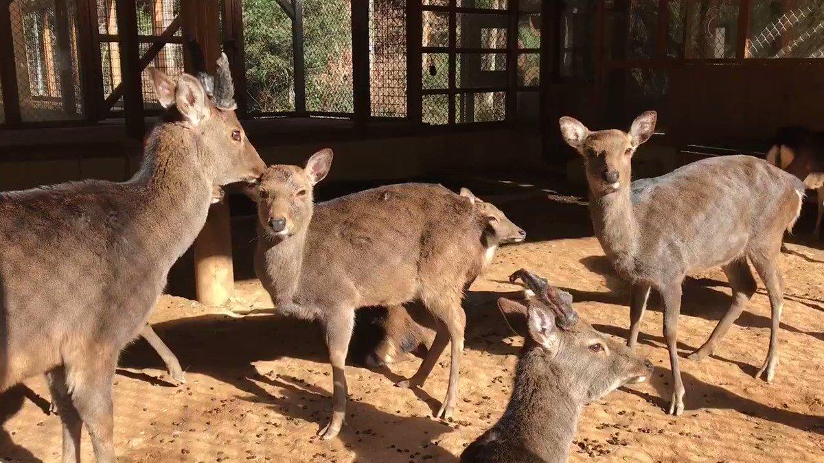 昼下がりのシカさんたち。  #大内山動物園 #動物園 #シカ #のんびり pic.twitter.com/i0K29End2u