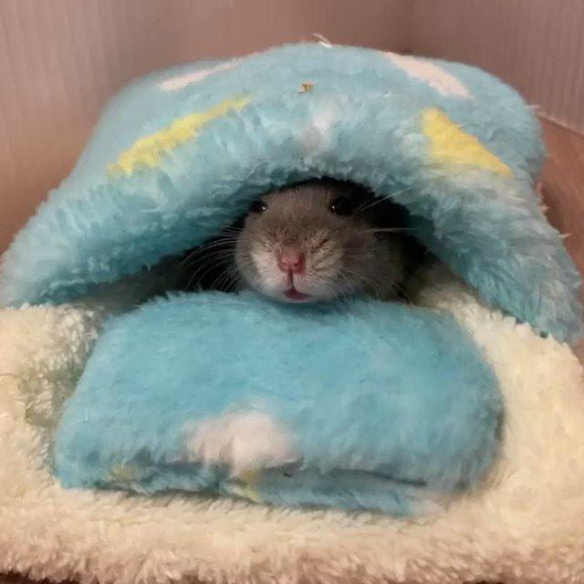 お布団で寝るハムスターがかわいい🥰Instagram:umi_umi_0728さんから
