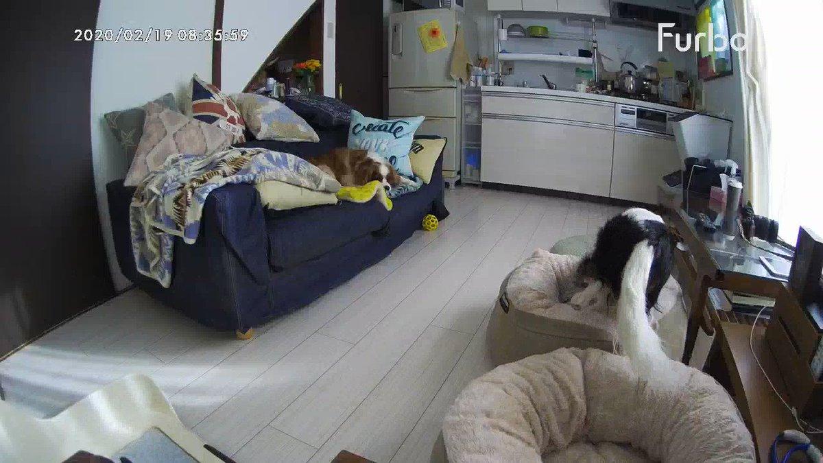ヌッシが家出た直後からお留守番モードに切り替わるタケテト。 きょうもいちにちがんばっぺー!  #cavalier #ckcs #cavpack #doggo #キャバリア #イヌ充