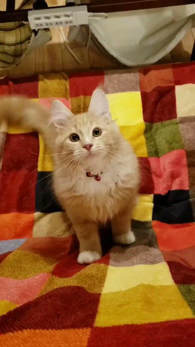 VR的コミュニケーション。 #猫 #メインクーン #猫動画 #猫好き #猫のいる暮らし #cat #CatsMovie #catlovers #Catholic