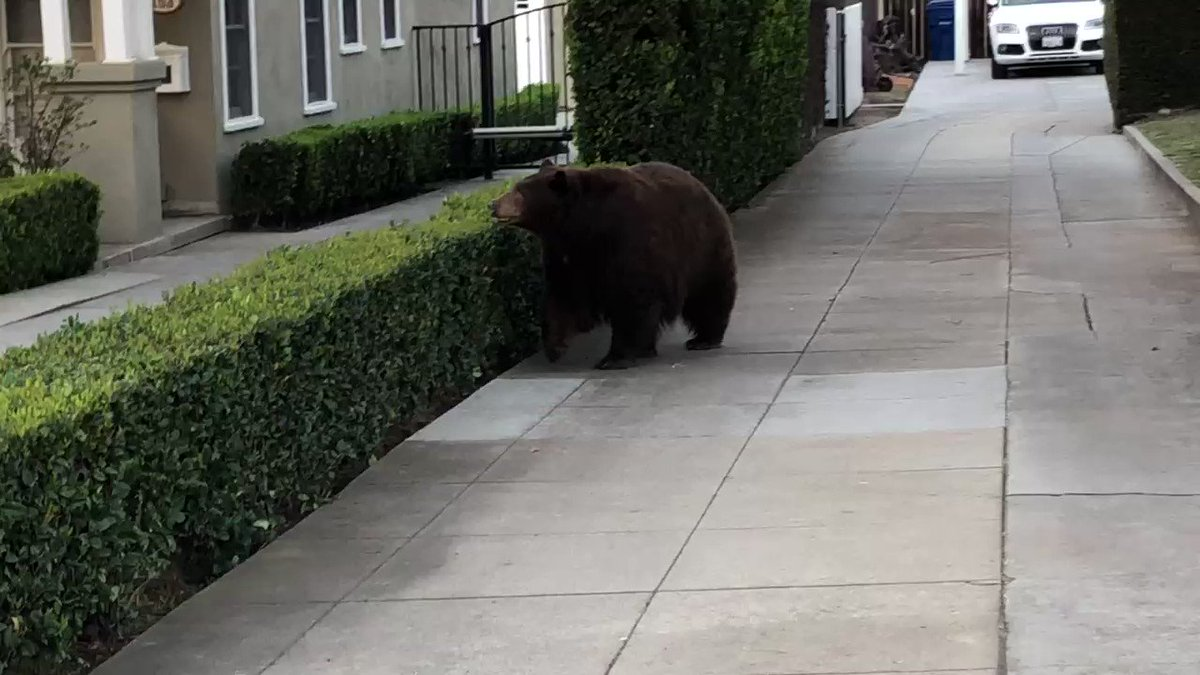 Bear roaming from home to home in Monrovia. Law enforcement trying to allow the bear to find its way back to its natural habitat. @CBSLA